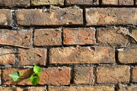 Brick wall of red brick with ivy