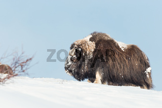 Close-up of a male Musk Ox in snow