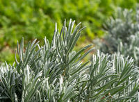 Lavender bush in front of traditional vegetable and herb garden in allotment
