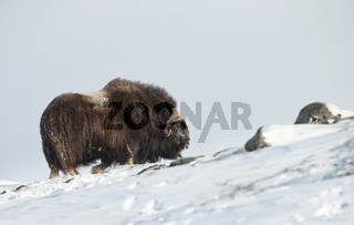 Close up of a male Musk ox standing in the snow in the mountains of Dovrefjell