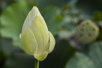 BUD OF INDIAN LOTUS FLOWER, MAURITIUS