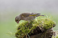 Greenfinch in eating