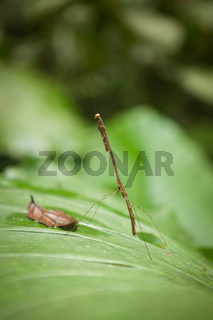 Stick insect in Gunung Mulu national park Malaysia