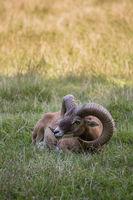 Horned Mouflon lying on Meadow