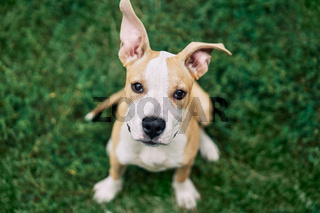 Cute small American Staffordshire Terrier puppy sitting outdoors