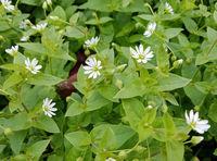Vogelmiere, Stellaria, media, Heilpflanze
