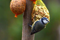 Blue tit in place of food with peanuts and titmice dumplings