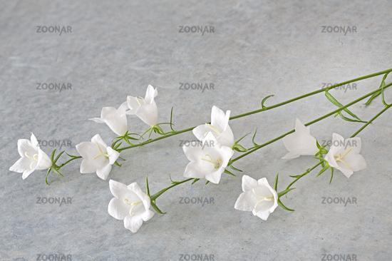 White bellflower (Campanula) lying on textured background