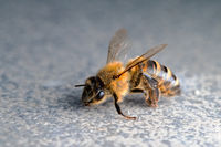 Macro of honey bee on plain background