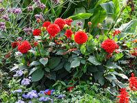 Red Dahlia flowers in autumn backyard flowerbed