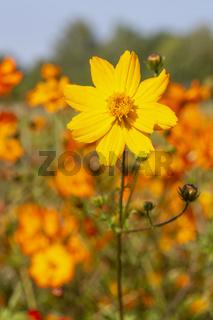 Einzelnes Mädchenauge (Coreopsis grandiflora)