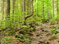 Höllbachgspreng, bewaldetes Felsmassiv unterhalb des Grossen Falkenstein