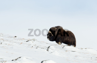 Isolated Male Musk Ox standing in snowy mountains