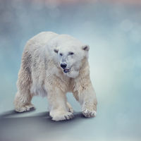 Large Polar bear walking