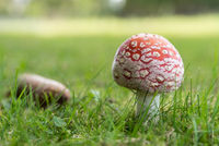 Fly agaric and spruce cones show their face in autumn - close-up