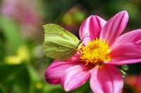 Lemon butterflies on a dahlia blossom