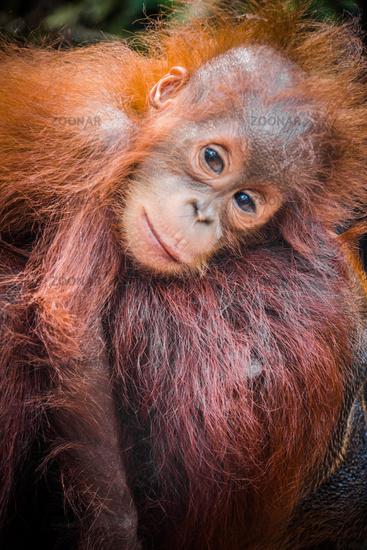 World's cutest baby orangutan snuggles with Mom in Borneo