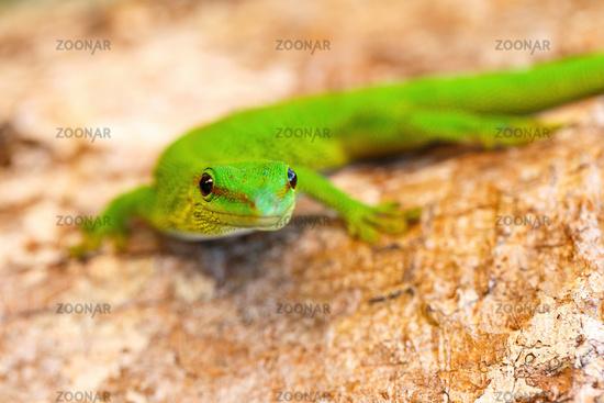 Phelsuma madagascariensis, day gecko, Madagascar wildlife