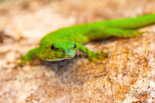 Phelsuma madagascariensis, day gecko, Madagascar wildlife