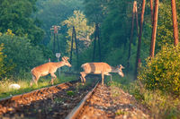 Two red deer stags crossing a railway track in the morning light.