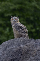 Eurasian Eagle Owl * Bubo bubo * at dusk, perched on a huge rock