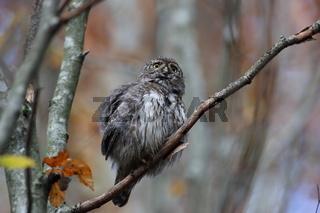 Eurasian pygmy owl (Glaucidium passerinum) Swabian Jura Germany