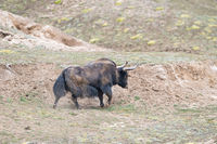 wild yak, bos mutus in qinghai
