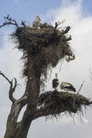 Wildlife, huge stork nests made with tree branches and hedge leaves and other bushes