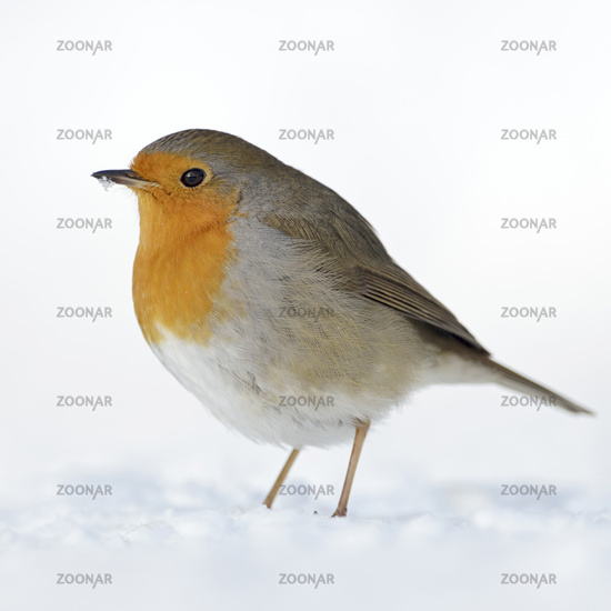 Robin Redbreast * Erithacus rubecula * in winter, standing on snow
