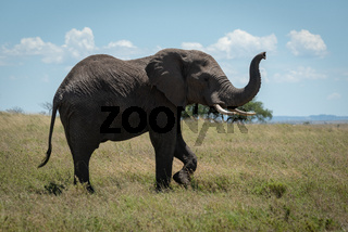 African elephant raises trunk while crossing savannah