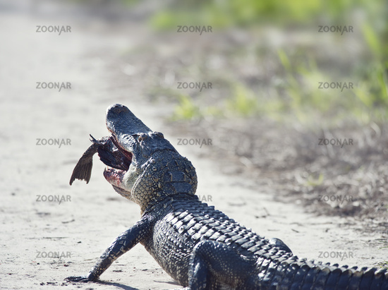 American alligator eating fish on a trail