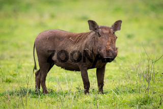 Warthog standing staring at camera in grassland