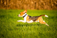 Dog, pure breed beagle jumping and running like crazy through morning dew in autumnal sunlight. Canine fast action shoot, run towards camera.