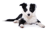 Border collie puppy lying on white background
