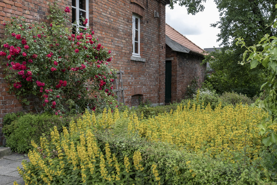 Old house with climbing rose