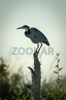 Black-headed heron crouches on stump in bushes