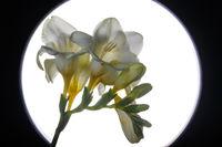 Plant Portrait Freesia