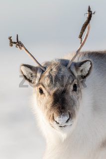 Wild Svalbard Reindeer, Rangifer tarandus platyrhynchus, portrait of a curios animal with small antlers in Svalbard, Norway.
