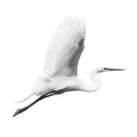 Great Egret V