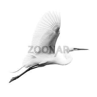 Great Egret V