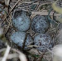 Spatzennest; Sperling; Spatz; Eier