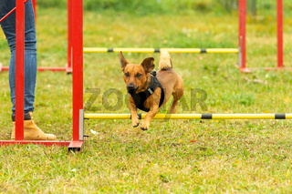 A young brown mixed breed dog learns to jump over obstacles in agility training. Age 2 years.