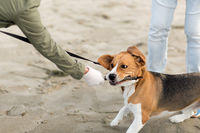 close up of owner playing with beagle dog on beach