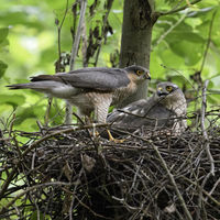 Sparrowhawks * Accipiter nisus *, pair / couple, male / female together on nest