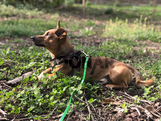 Young terrier mix dog sitting in a forest glade watching the sun in autumn or spring.