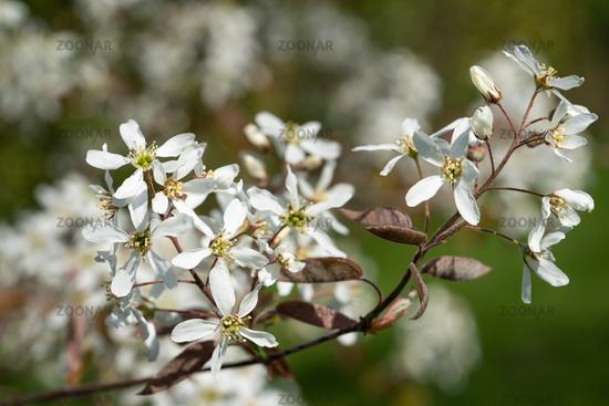 Juneberry, Amelanchier lamarckii