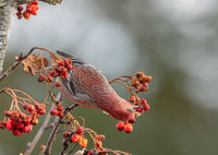 Pine grosbeak, Pinicola enucleator, male bird feeding on Sorbus berries