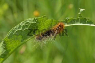 Raupe vom Braunen Bär (Schmetterling)