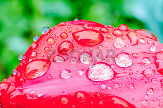 Drops of spring rain on red tulips.