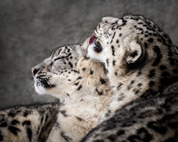 Snow Leopard Pair II